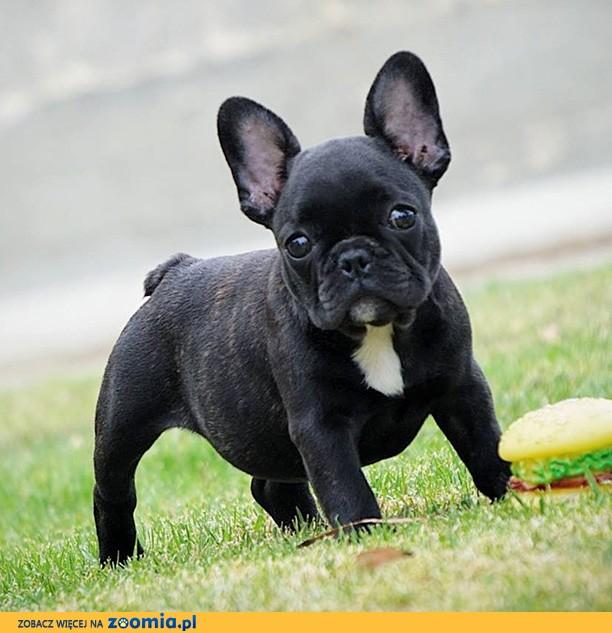 Pies Buldog Francuski Ogłoszenia Z Hodowli Psy Buldogi Francuskie