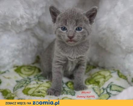 Kocięta Rosyjskie Niebieskie w hodowli Dumny Kot*PL