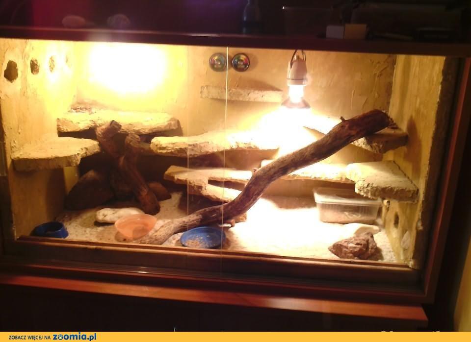 Sprzedam gekony lamparcie