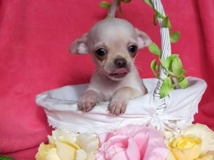 Najpiękniejsze Chihuahua Mini szukają nowego domu Rodowód Wyprawka-zobacz!