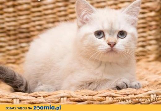 Kot brytyjski krótkowłosy,  Koty brytyjskie cała Polska