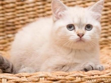 Kot brytyjski krótkowłosy   Koty brytyjskie cała Polska