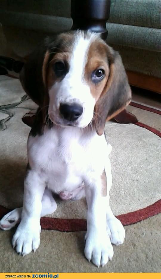 Śliczny szczeniaczek Beagle