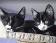 Franek krówkowy kociak szuka domu
