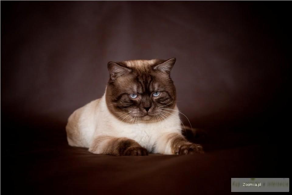 Kocięta Brytyjskie Point Pręgowany Brytyjski Koty Archiwum