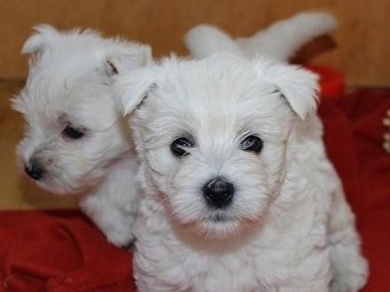 Szczeniaki West Highland White Terrier - Rezerwacja