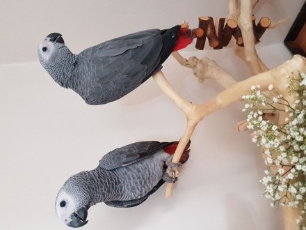 Afrykańska szara papuga Kongo
