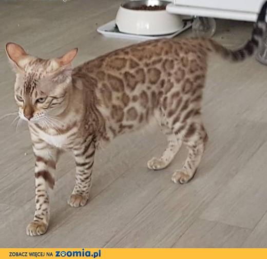 Bardzo dobra Kot bengalski - ogłoszenia z hodowli. Koty bengalskie / Zoomia.pl pl 1 IK67