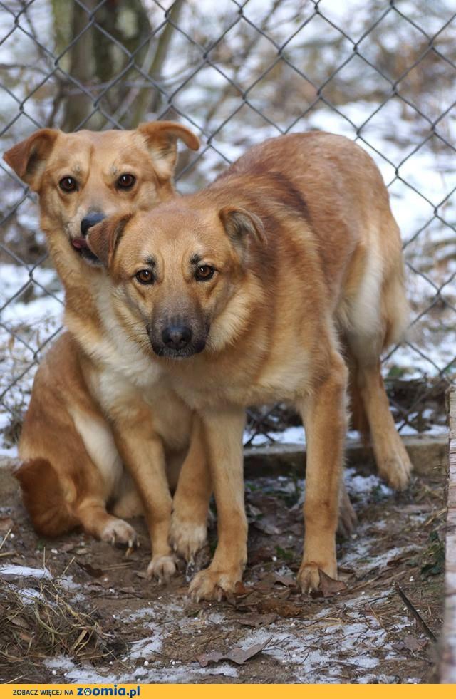 Młody, nieduży Baku, nieśmiały psiak szuka domu!