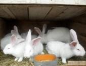 Belgijski Olbrzym Biały - Ferma Reprodukcyjna