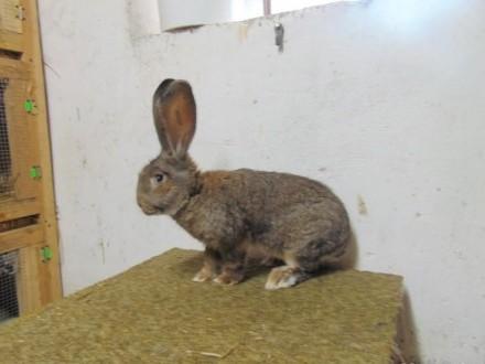 królik  króliki BOS
