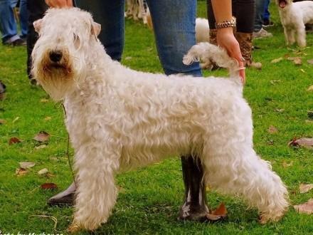 Irish Soft Coated Wheaten Terrier- terier pszeniczny- zapowiedź miotów