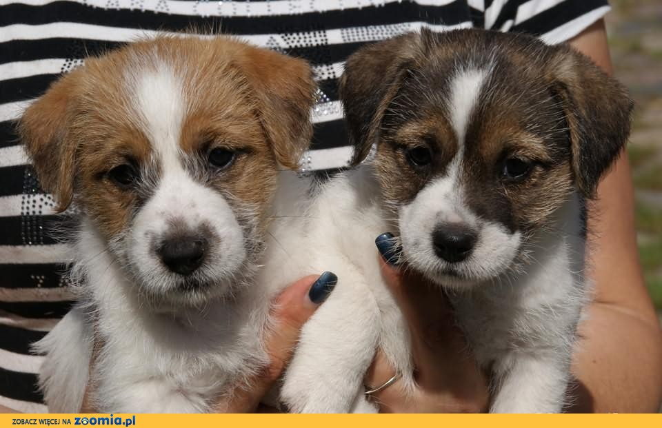 Jack Russell Terrier FCI- Zapowiedz miotu
