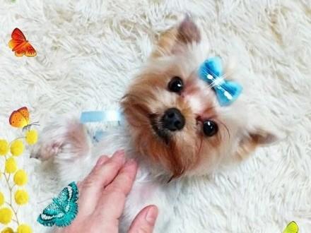 Yorkshire Terrier Piesek Miniaturka Gucio Raffaello z rodowodem CUDO!