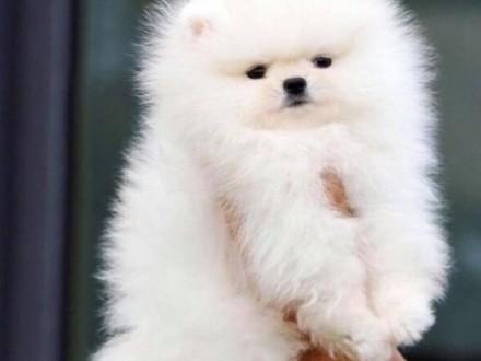 Pomeranian chłopiec szpic miniaturowy FCI super