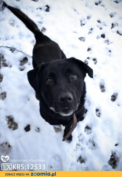 Benek - psiak w typie labradora szuka odpowiedzialnego domu