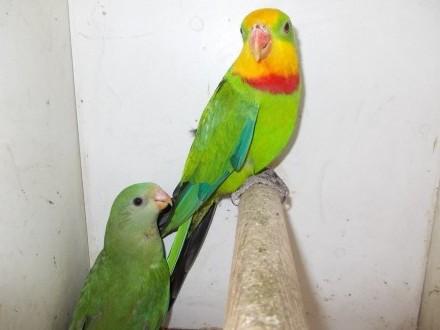 papuga Tarczowa BARABANDA