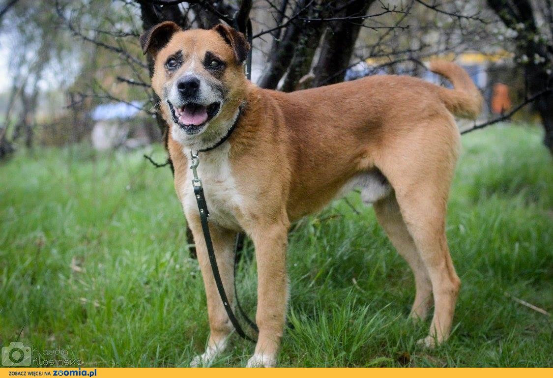 Grzeczny, kochający człowieka psi Senior Casanova - pokochaj go!