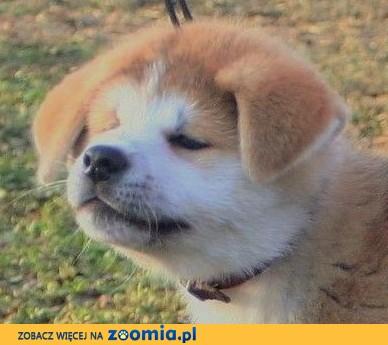 """Akita Inu """" Przystań Akity (FCI) b.dobry rodowód!!"""