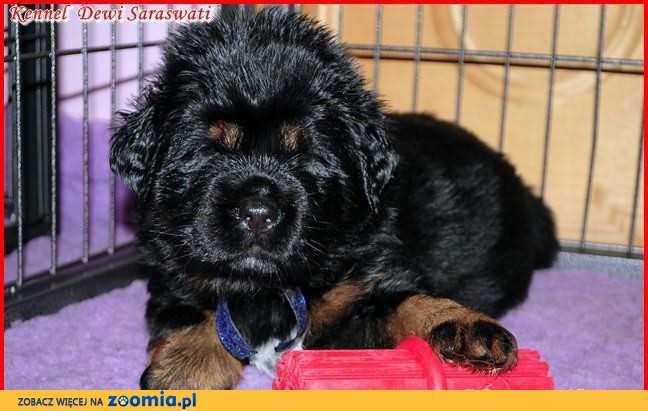 mastif tybeta ski szczeni ta atrakcyjne ceny mastif neapolita ski psy archiwum zoomia pl. Black Bedroom Furniture Sets. Home Design Ideas