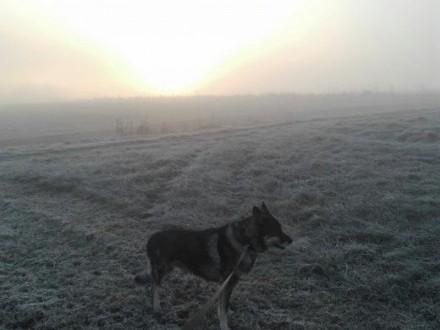 Szukamy suczki dla naszego wilka,  podkarpackie Krosno