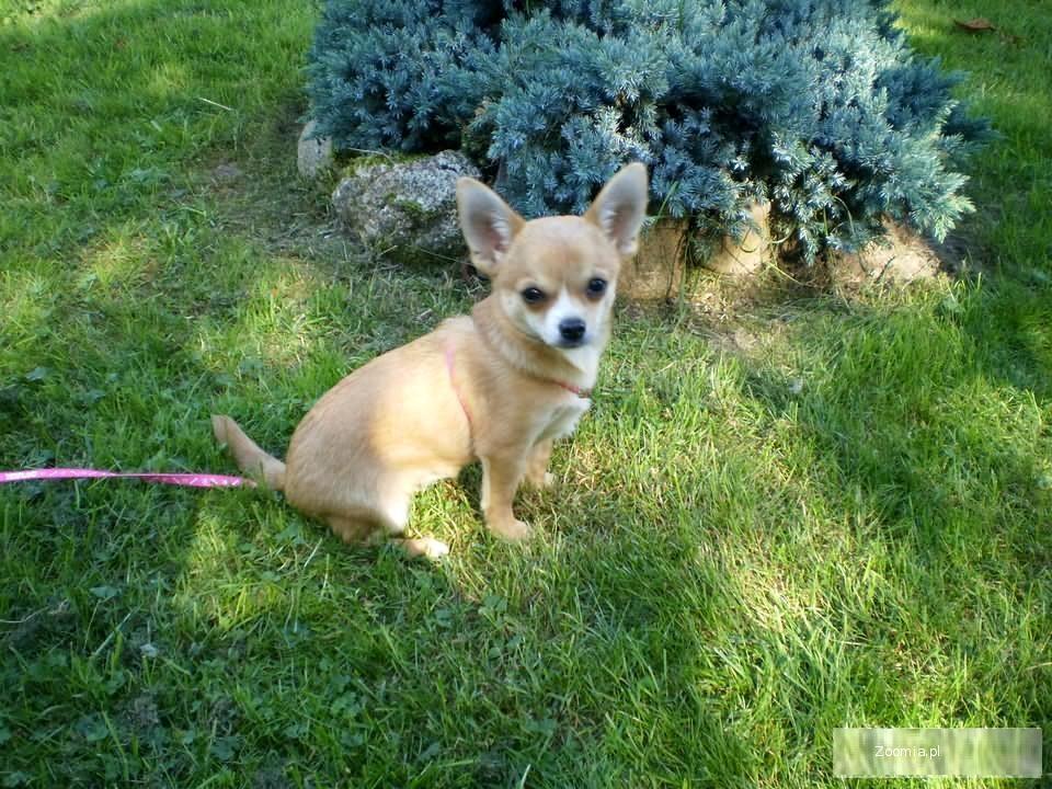 Chihuahua suczki i pieski FCI