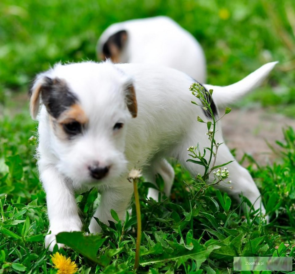 parson russell terrier szczeniaczki jack russell terrier psy archiwum zoomia pl. Black Bedroom Furniture Sets. Home Design Ideas