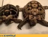 Sprzedam żółwie greckie,  łódzkie Łódź