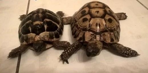 Sprzedam żółwie greckie   łódzkie Łódź