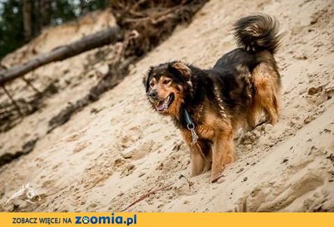BROOKLYN - wyjątkowy pies czeka na wyjątkowego człowieka,  lubelskie Lublin