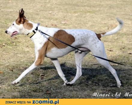 GACEK pełen energii i radości pies