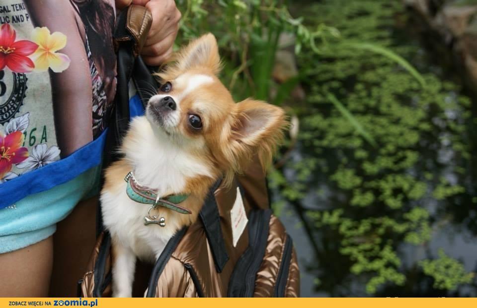 Chihuahua z rodowodem Zkwp po championach.