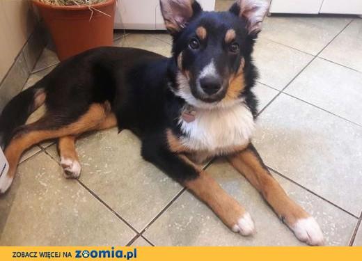 6 miesięczna Azumi, bystra, przyjazna suczka do pokochania!,  Kundelki cała Polska