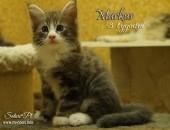 Maine Coon - śliczne kocięta