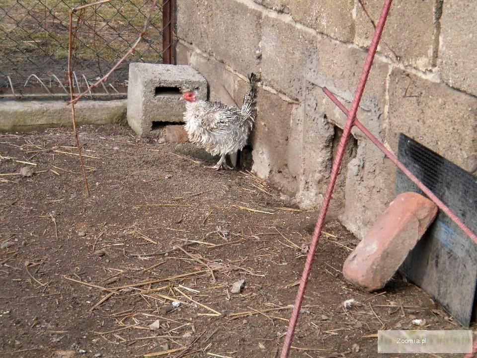 Kury lokowane