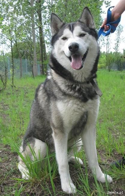Alaskan Malamute W Polsce FIGA - piękna ...