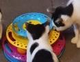 Kociaki od 3 do 5 miesięcy do adopcji ,  wielkopolskie Oborniki