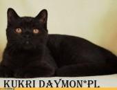 Czarny kot brytyjski z rodowodem