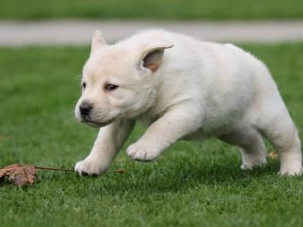 Labrador Retriever w wieku 12 tygodni wszystkich kolorów