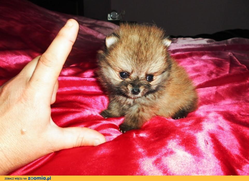 Pomeranian -suczka mikroskopowych rozmiarów .mini mini.              Rodowód