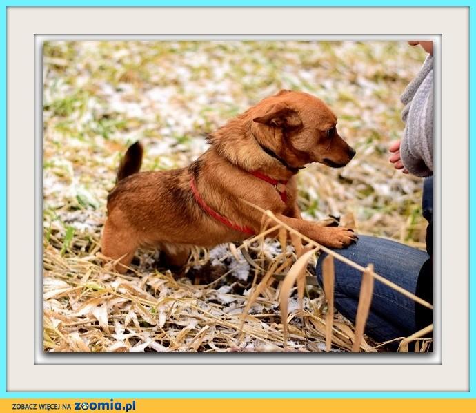 Mały 7 kg,grzeczny, nieśmiały,spokojny, rudy piesek CEKIN_Adopcja