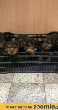 Reproduktor FCI Welsh Terrier Terier Walijski Nazir Z-ca Polski 2018