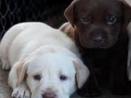 Labrador Retriever szczenieta