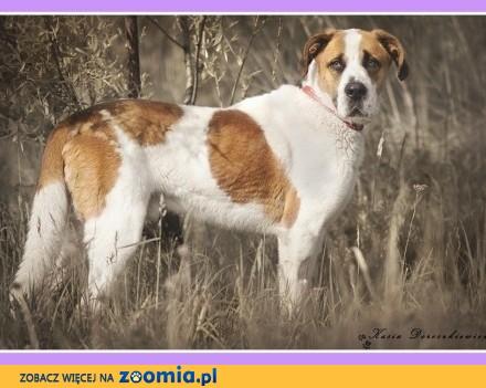 Bernardyn mix  duży 50 kg  3 letni  kontaktowy czujny pies HELIOS_Adopcja