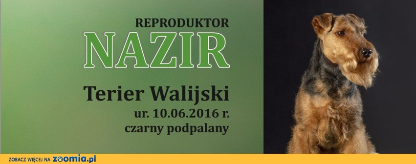 Terier Walijski Nazir Zwycięzca Polski 2018 Reproduktor