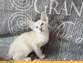 CREMONA , kotka z rodowodem FIFE_FPL