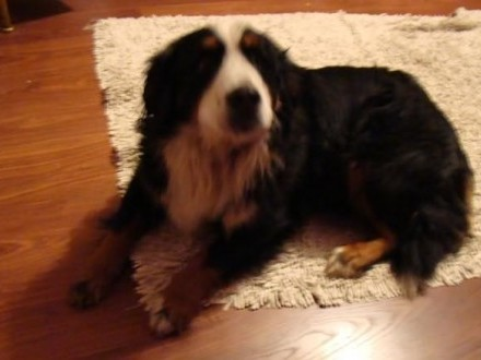 Berneński pies pasterski-suczka