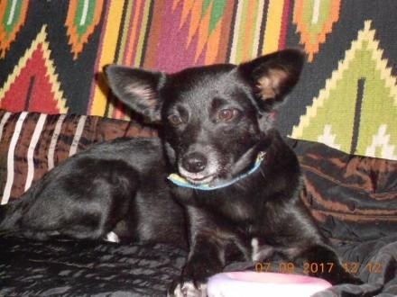 Bezdomna Jessie  7 miesięczna i nakolankowa sunia szuka domu!
