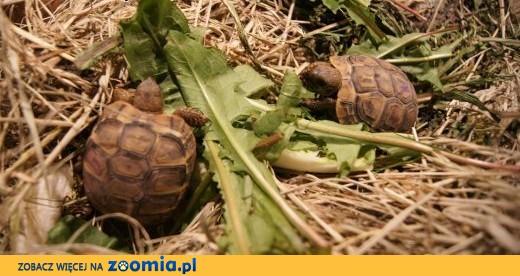 sprzedam żółwia greckiego,  hodowla,  pomorskie Gdańsk