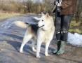 Ice - pies PÓŁNOCY, przyjazny, grzeczny ADOPCJA